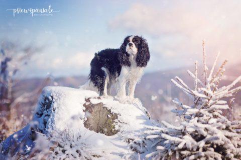 psiewspaniale - Nikon (Cavalier King Charles Spaniel)